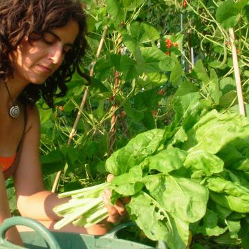 Harvesting spinach at OrganicLea